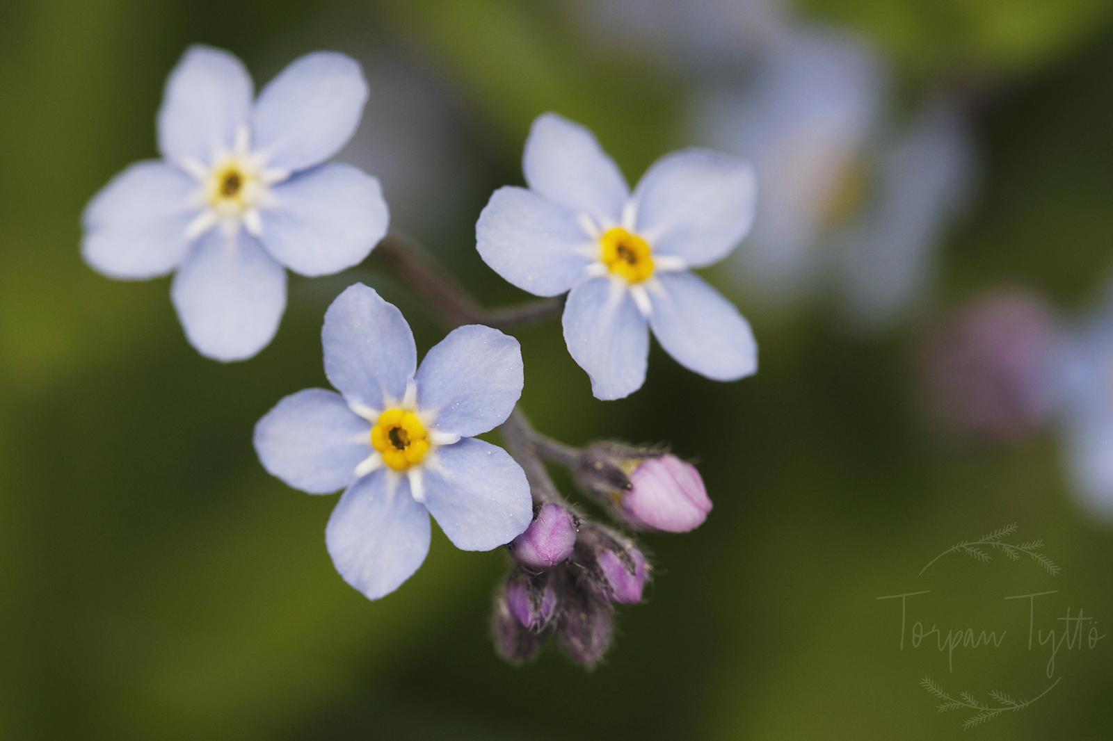lemmikki kukka